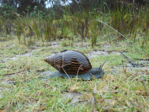 A giant snail on the trail