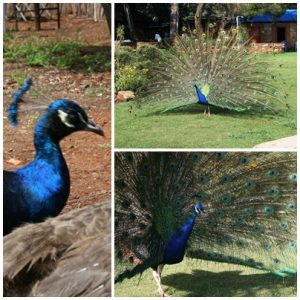 Some of the peacocks at the lodge
