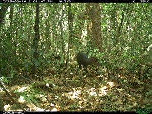 The black duiker shows up