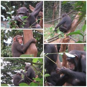 Some of the chimp families